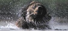 XXL-Ansichtskarte: Braunbär im Wasser, Kamtschatka