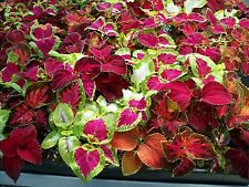 Coleus Rainbow Mix 300 Seeds FREE SHIP Save, Buy 2 & We Pack 3! herpetology  19