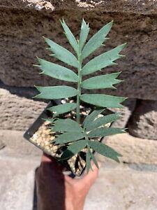 Encephalartos Horridus EASTERN CAPE CYCAD Thorny Twisted Ice Blue Cycads Nursery