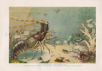 1911 Naturale Storia Double Sided Stampa ~ Cephalopods/Aragosta Crustaceans