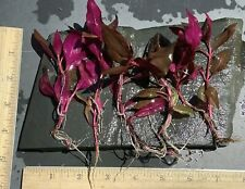 Live Aquatic Plant | Alternanthera reineckii Mini | High Light | Lot of 6 Stems
