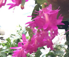 Hot Pink Thanksgiving Christmas Cactus Unrooted Cuttings 3 Pieces
