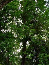Indian Rosewood - DALBERGIA LATIFOLIA - 9 Seeds - Trees