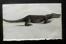 Nodder Zoological Miscellany 1815 Hand Color Print. Cuvierian Alligator 102