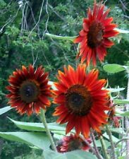 VELVET QUEEN Sunflower 100 SEEDS Tall Multi Blooms Side Branches Maroon Flowers