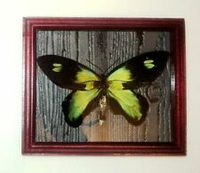 Ornithoptera rubianus male in frame of real wood !!