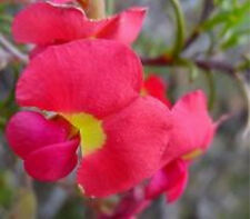 Red Bonnets Seed Hardy Lovely Red Pea Flowers Native - Gompholobium hendersonii