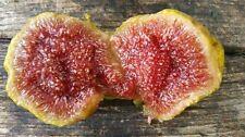 "Fig tree cuttings ""Cardenillo"" Rare"