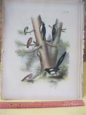 Vintage Print,CROSSBILL,Birds of North America,J.Stucker,1888,Plate 53