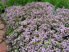 500 Wild Creeping Thyme seeds  WALK ON ME Thymus serpyllum Herb Flower CombSH