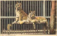 Postcard Tigers at Bristol Zoo Harvey Barton Card unposted