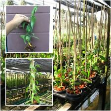 "Vanilla Bean Plant Planifolia, Cuttings with air roots, 12"" long, DIY Plant"