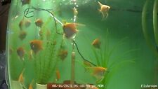 Pair of Gold Angelfish -Exotic Live freshwater tropical fish