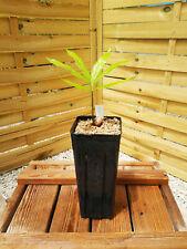 Cycas simplicipinna plantule/seedling, Encephalartos, cycad, Dioon