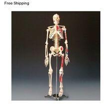 Human Body Anatomical Skeleton Model Anatomy Medical Bone Skull Education Stand