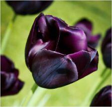 8 QUEEN OF THE NIGHT DARK PURPLE TULIPS AUTUMN GARDENING SPRING FLOWER BULB CORM
