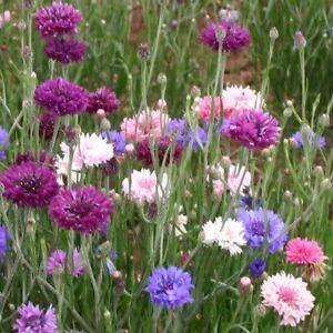 Cornflower 'Polka Dot' / Centaurea cyanus / British Wildflower / 300 Seeds