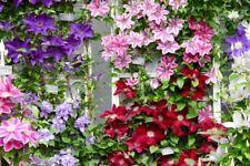 4 x Clematis (Random Mix 4) Plug Plants Climbing Vine Flowering shrub