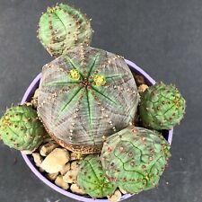 1170. Euphorbia pseudoglobosa / aztekium