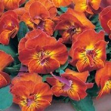 30+ Viola Angel Amber Kiss / Shade Loving / Perennial Flower Seeds