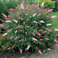 20 Stücke Schmetterling Bush Samen Seltene Blume Pflanze K6D2 Exotischen H0X6
