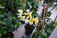 Sternjasmin gelb Trachelospermum winterhart Jasmin Star of Toscane 90 - 110 cm