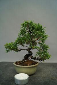 Bonsai  Wacholder Juniperus chinensis Nr 3011 Shohin immergrün