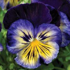 ¡Nuevo! 30 + Pensamiento Karma Sol Azul Semillas de Flor/Aromático