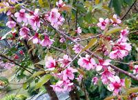 20 Prunus cerasoides, Samen der Himalaya Kirsche, winterharte Zierpflanze