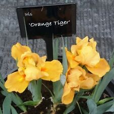 Standard Dwarf Bearded Iris - Orange Tiger - Sweet Fragrance