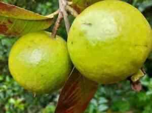 jumbo pink guava live tree plant 7'' to 13''