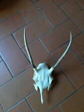 Trofeo Cervo giovane caccia , no capriolo daino muflone alce camoscio