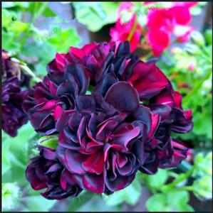 2018 Geranium Black Rose Pelargonium Seeds