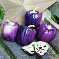Seeds Sweet Pepper Oda Purple Bell Vegetable Organic Heirloom Russian Ukraine