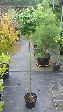 Ginkgo biloba Mariken, Zwergginkgo, 160cm, Ginkgobaum, Kugel