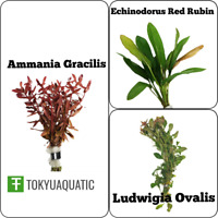 Super Red Bundle Package Ammania Gracilis Echinodorus Red Rubin Ludwigia Ovalis
