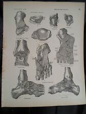 #23 Rare Vintage Old Print From Descriptive Atlas of Anatomy 1880  Medical Retro