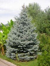 BLAUFICHTE 25 Samen Picea Pungens Stechfichte Blau Fichte