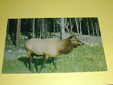 The Canadian Rockies, Male Wapiti (Elk) B.C.Postcard Canada