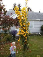 sunflower, MAXIMILIAN, PERENNIAL, sun flower yellow 45 seeds! GroCo buy US USA