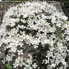 Clematis montana Grandiflora-Clematis Plant in 9 cm  pot