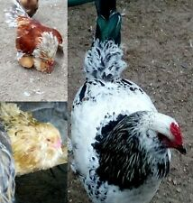 6 fertile hatching chicken eggs Easter Eggers ~free shipping~