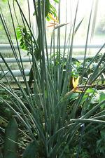 * PFLANZE * Strelitzia juncea, Binsen-Paradiesvogelblume, kräftige Jungpflanze
