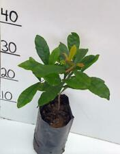 MIRACLE FRUIT / BERRY TREE Synsepalum dulcificum  PLANT 1 YEAR OLD