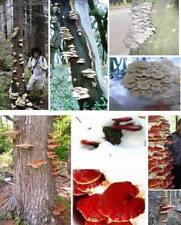 Austernseitling & Lackporling Speisepilze Dekoration Pflanzen für den Blumentopf