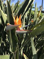 Strelitzie - Paradiesvogelblume - Strelitzia reginae exotische Blüten! 100cm