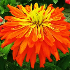 Youth-And-Old-Age Seed 50 Seeds Orange Chrysanthemum Zinnia Elegans Flowers A233