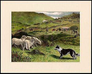 BORDER COLLIE SHEEPDOG TRIALS LOVELY DOG PRINT MOUNTED READY TO FRAME