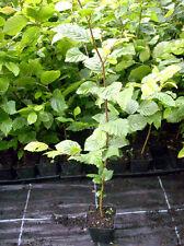 1 x Hainbuche Heckenpflanzen Topf-Container 40-50 cm