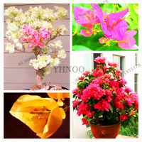 100 Pcs Seeds Bougainvillea Bonsai Potted Garden Flowers Plants Mixed Colors NEW
